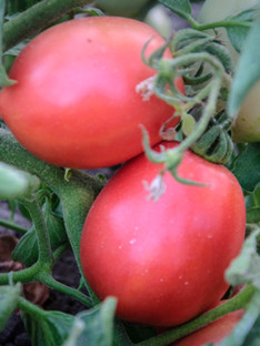 Rose, yellow, black tomatoes