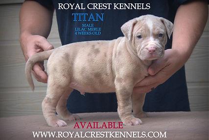 Royal crest kennels XXL American bully x