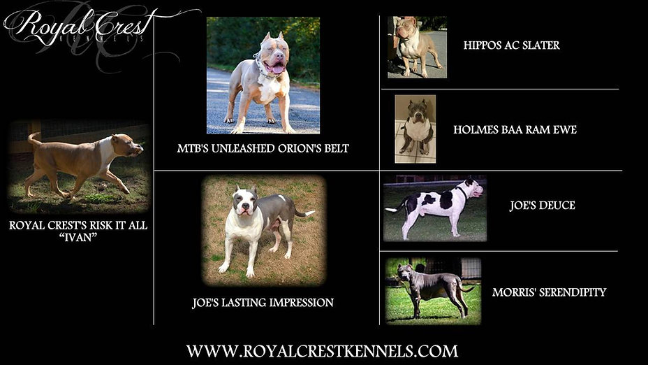 xl american bullies in georgia royal crest kennels bully puppies for sale pitbull pups in ga show quality xl american bullies american bully bully puppies in georgia united states atlanta bully breeder bully breeders in ga xl bully breeder in atlanta georgia xl bully stud xl bully for sale