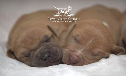 Royal crest kennels XXL American bully xl american bullies in georgia royal crest kennels bully puppies for sale pitbull pups in ga show quality xl american bully american bully bully puppies in georgia united states atlanta bully breeder bully breeders in ga xl bully breeder in atlanta georgia xl bully stud xl bully for sale lilac tri bullies for sale blue bully breeders in ga blue xl American bully breeder blue fawn American bully blue fawn puppies in ga blue fawn puppies lilac tri pups sable brindle blue brindle merle chocolate tri platinum tri xl puppies pitbull puppies pitbull pups pit pups pit puppies near me ear cropping for bully biggest pitbull breeder ukc pitbull ukc abkc American bully abkc pitbull pups male xl bullies female xl bullies