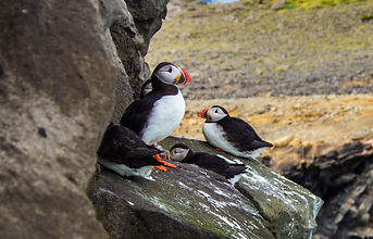 Puffins at Dyrholey on Iceland southshore, Iceland south coast super jeep day tour