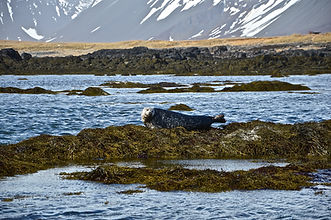 Seals at Ytri Tunga in Iceland, Golden sand beaches of Snaefellsnes Peninsula, excursions in Iceland
