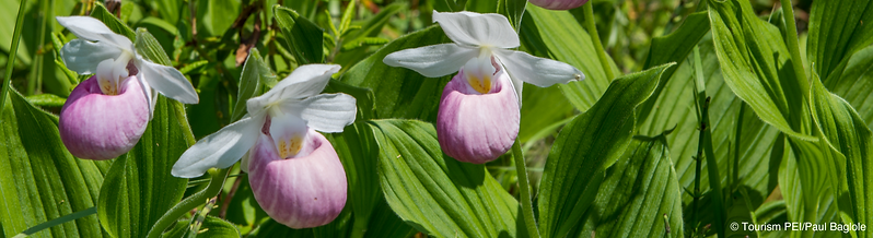Banner-Ladyslippers.png