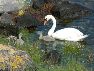 Swans, real, imagined and recreated in dance..