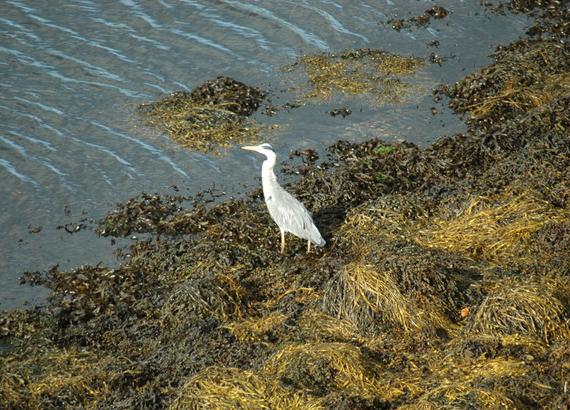Heron-on-Ben-Dhurrinish-Bay-beach-Sept-12.png
