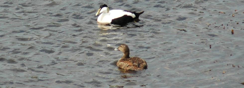 Eider-Ducks-at-Tigh-na-Breac.jpg