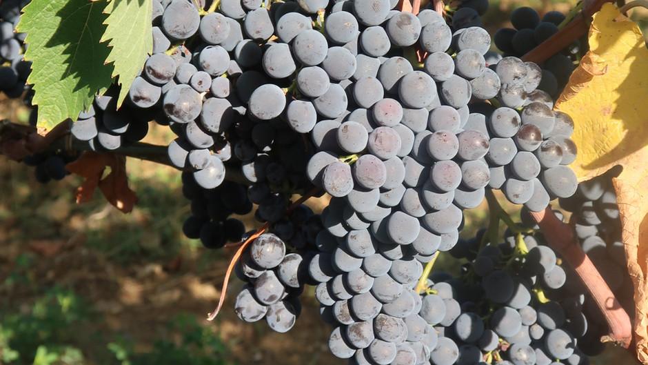 La Vendemmia - An Autumnal Tradition