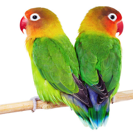 Pair of lovebirds agapornis-fischeri isolated on white_edited.jpg