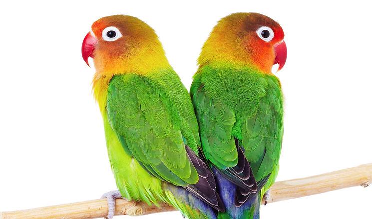 Pair of lovebirds agapornis-fischeri isolated on white_edited.jpg