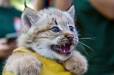 baby lynx.jpg