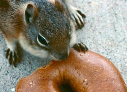 Bagel squirrel