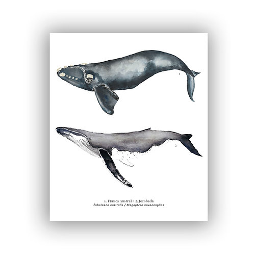 Duo de ballenas