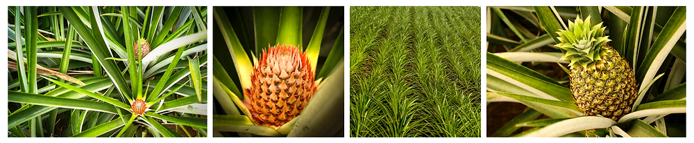 UNDP - Costa Rica - Pineapple