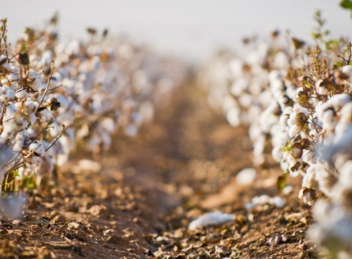 The Impacts of three cotton cultivation systems.