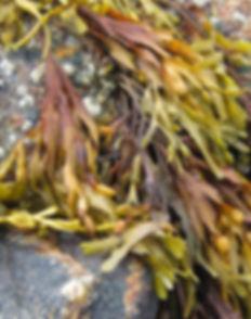 Kelp (Ascophyllum Nodosum) Overview, Hea