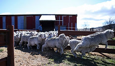 Bluey Merino_2015_CW_Sheep(113).jpg