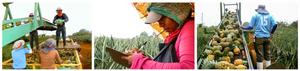 UNDP - Costa Rica - Pineapple
