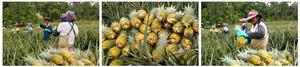 UNDP Pineapple