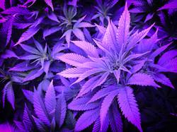 W2G Cannabis Flower