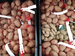 Free Seed Potatoes