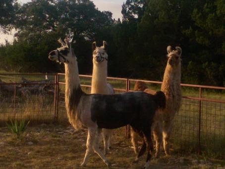 Be a Llama! LLAMA STRONG!