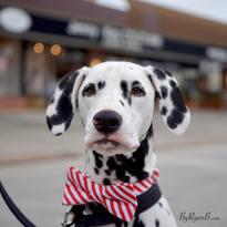 Jackson, dalmatian, houston, model, dog