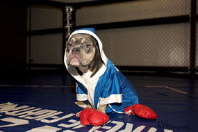bruce, american bully, boxer, fighter, houston