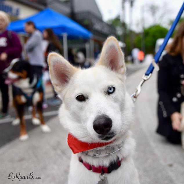 luna, wolfdog, husky, german shepherd, houston
