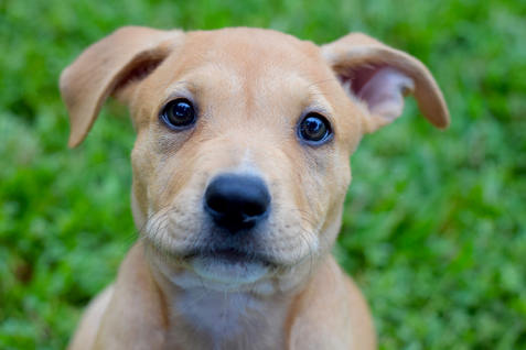 puppy, cute, dog, adopt