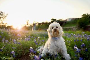 kyro, maltipoo, fluffy, cute, dog, bluebonnets, flowers, houston