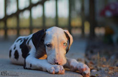 great dane, puppy, cute, baby, dog