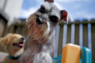 cute, schnauzer, dog, funny, houston