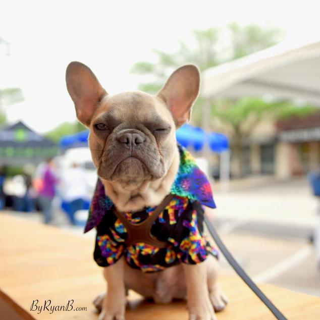 frenchie, french buldog, cute, funny, fashion