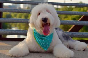 winston, old english sheepdog, fluffy, houston