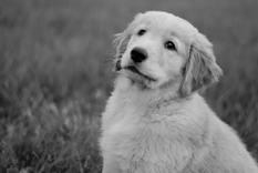 golden retriever, puppy, dog, cute, black white