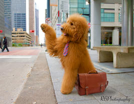 goldendoodle, dog, fluffy, houston, model, downtown