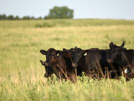 Four External Parasites Cattlemen Should Be Aware Of