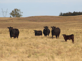 Is Timed AI Right for Your Herd?