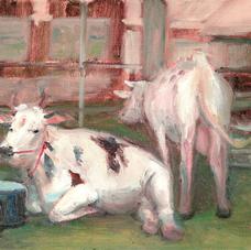Cows at Pongal