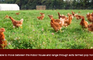Free Range Hens Tagged with Trovan Microchips