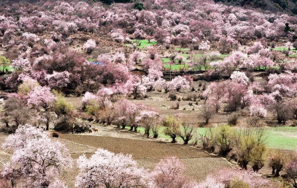 Tibetan peach blossom