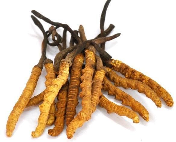Tibetan Viagra: The Caterpillar Fungus