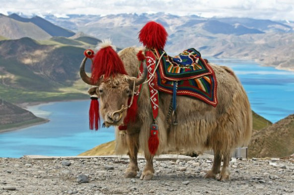 The Tibetan Yak: Busting Myths, Revealing Wonders