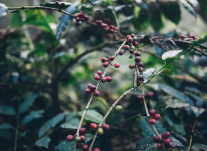 BREW INSIGHT: WHAT IS SPECIALTY COFFEE? PART 2