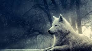 שני זאבים...