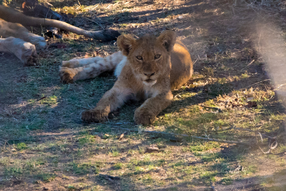 baby lion, South Africa