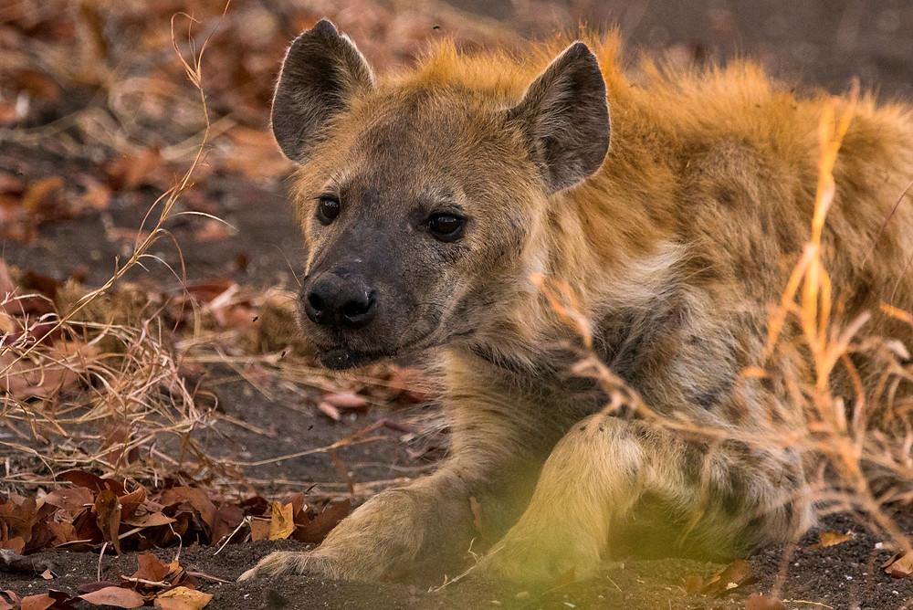 Hyena, Kruger, South Africa