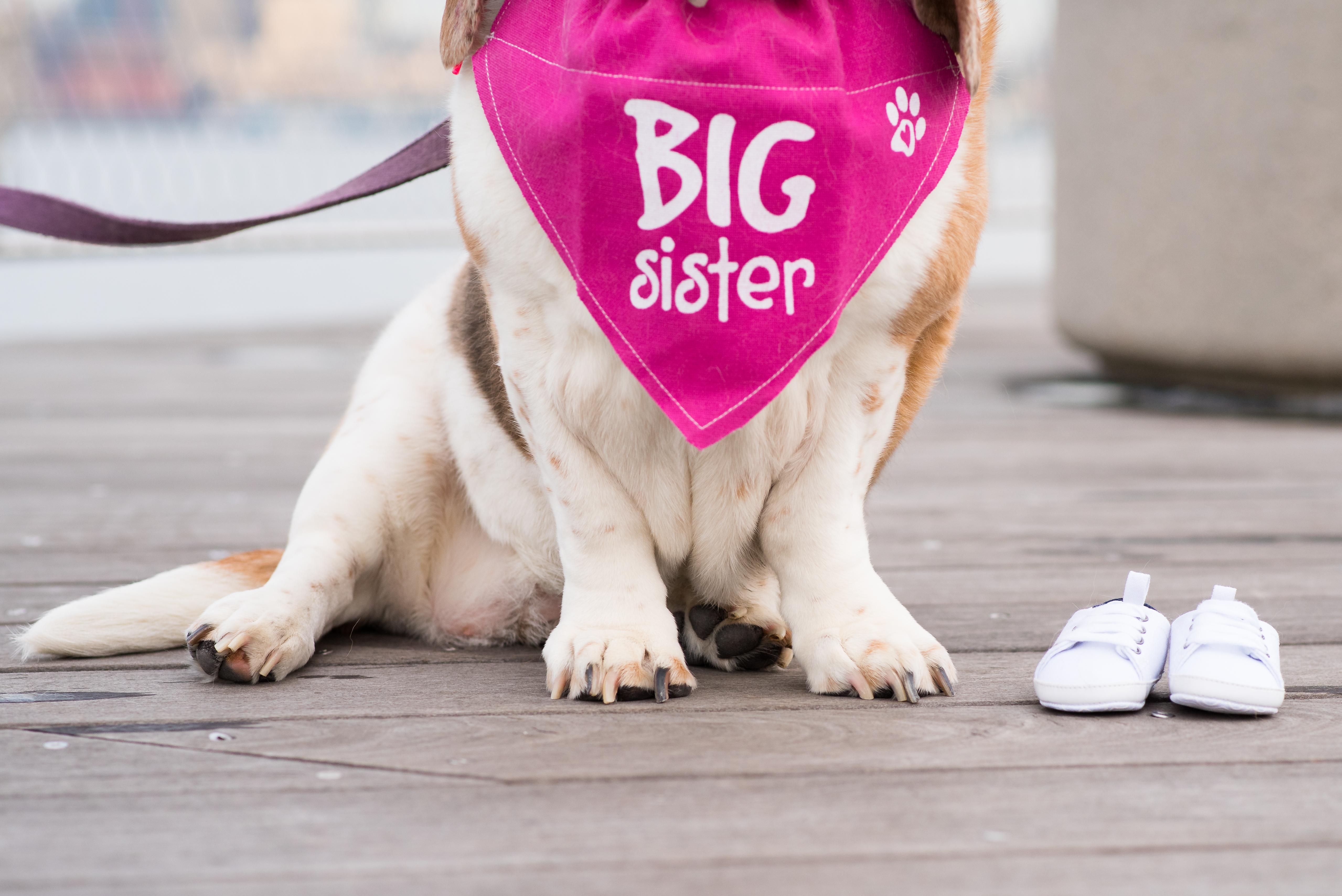 basset hound dog baby announcement
