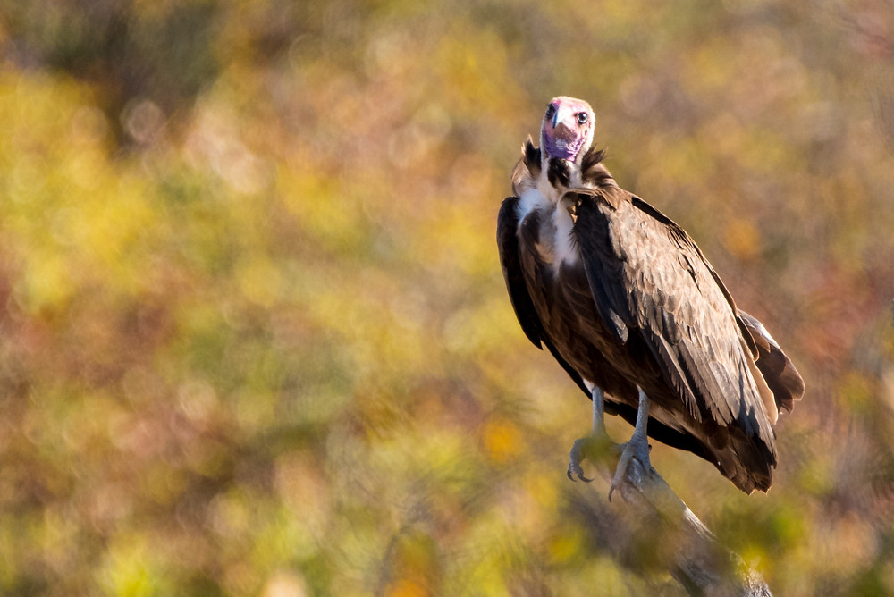 vulture, South Africa