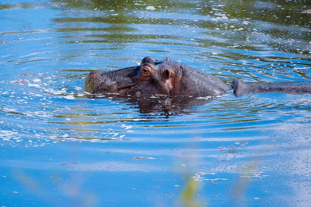 hippos, South Africa